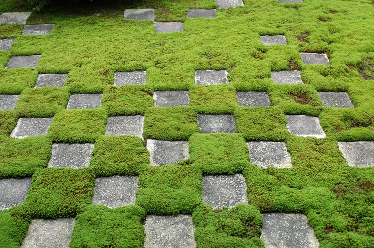 groundcover - Ground Cover Ideas