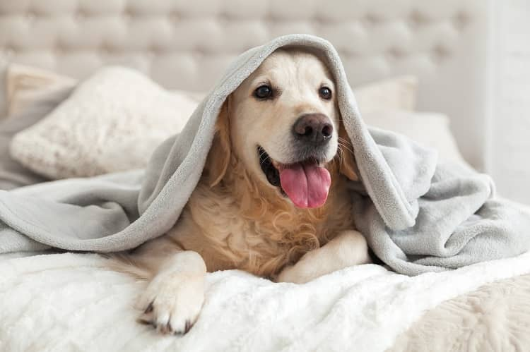 Buying-the-Ideal-Blanket-for-Your-Dog