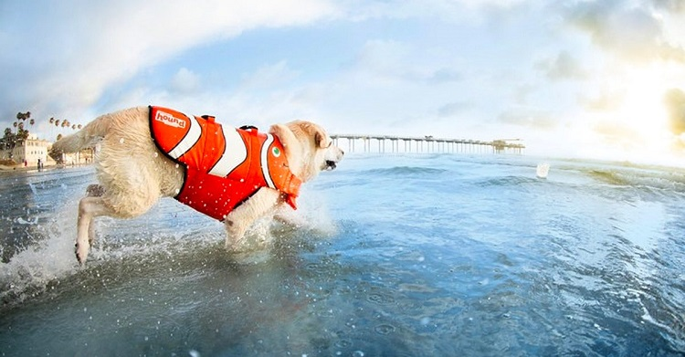 dog running into water with life jacket
