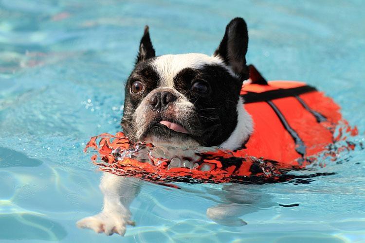 bulldog swimming in the water