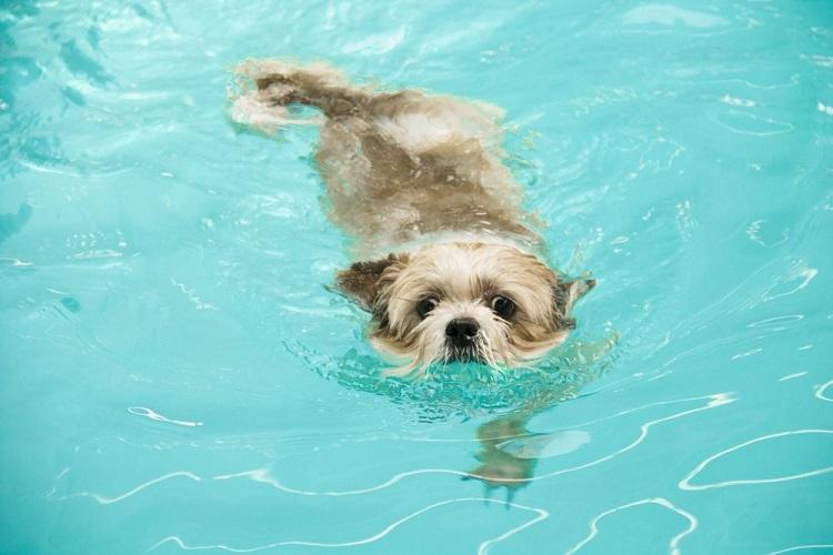 shih tzus dog swimming