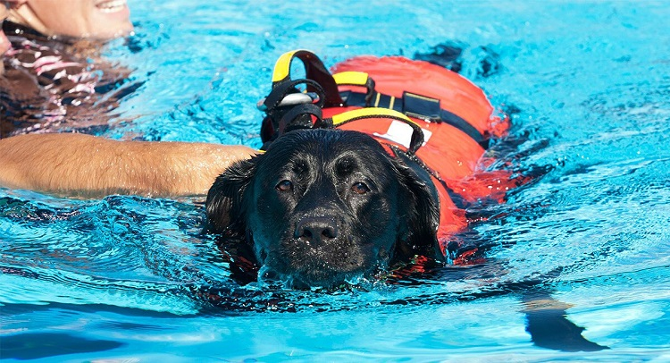 labrador swimming with life jacket